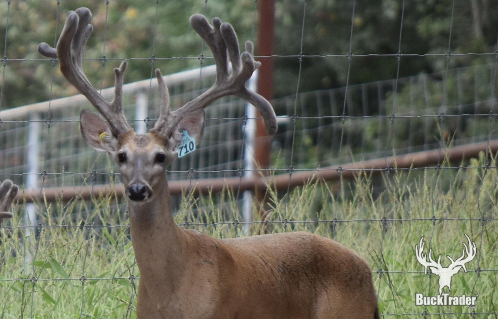 BuckTrader - Whitetail Deer for Sale | Exotic Animals for Sale